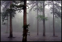Trees outside of Xiangfeng temple in fog. Emei Shan, Sichuan, China