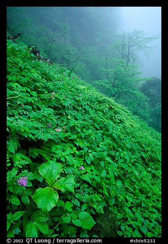 Wildflowers and ferns on a hillside in the fog between Xiangfeng and Yuxian. Emei Shan, Sichuan, China
