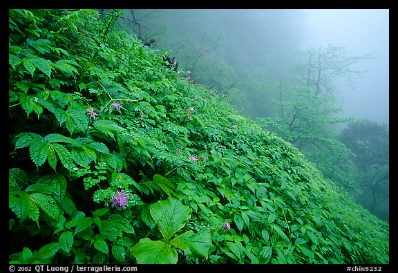 Wildflowers and ferns on a hillside in the fog between Xiangfeng and Yuxian. Emei Shan, Sichuan, China (color)