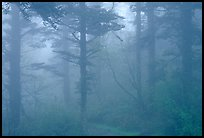 Trees in the mist between Xixiangchi temple and Leidongping. Emei Shan, Sichuan, China (color)
