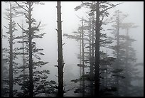 Trees in mist. Emei Shan, Sichuan, China