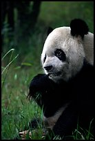 Panda eating bamboo leaves, Giant Panda Breeding Research Base. Chengdu, Sichuan, China ( color)