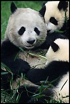 Panda mom and cubs eating bamboo leaves, Giant Panda Breeding Research Base. Chengdu, Sichuan, China