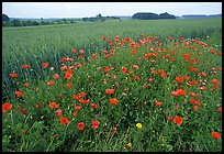 Field of red poppies. Bavaria, Germany