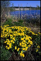Yellow flowers on a lakeshore. Central Sweden ( color)