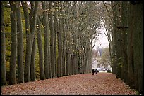 Sycamores, alley leading to Chenonceaux chateau. Loire Valley, France (color)