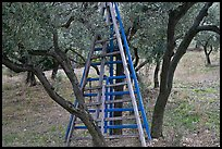 Ladders in olive tree orchard, Les Baux-de-Provence. Provence, France