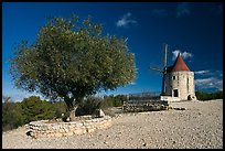 Olive tree and Alphonse Daudet windmill, Fontvielle. Provence, France