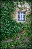 Ivy and window, Fontenay Abbey. Burgundy, France (color)