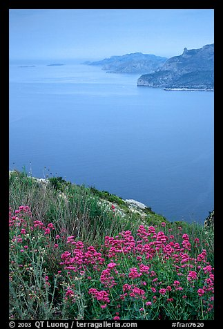 Wildflowers and cliffs dropping into the Mediterranean seen from Route des Cretes. Marseille, France