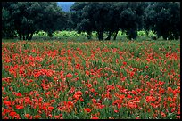 Red poppies and olive trees. Marseille, France ( color)