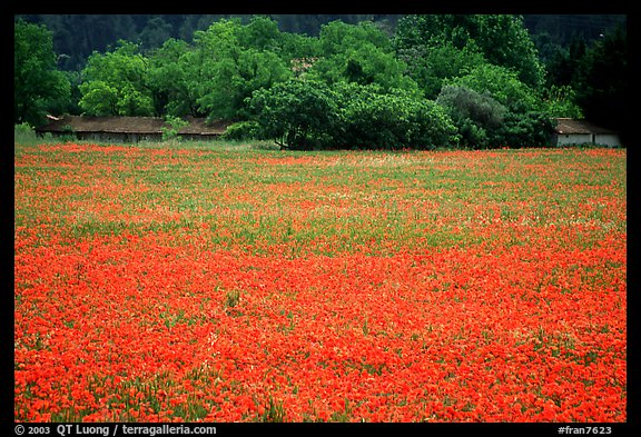 Red poppies and farm in the distance. Marseille, France (color)