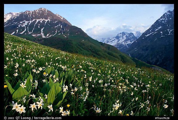 Wildflowers and Oisans range near Villar d'Arene, late afternoon. France (color)