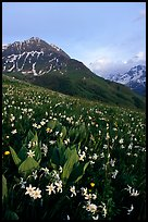 Wildflowers and Oisans range near Villar d'Arene, late afternoon. France