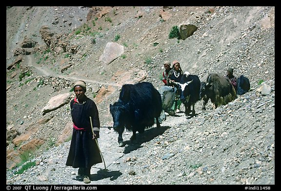Group of people on narrow mountain trail with yaks, Zanskar, Jammu and Kashmir. India (color)