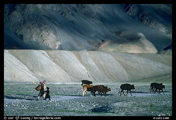Family herding cattle in arid mountains, Zanskar, Jammu and Kashmir. India (color)