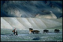Family herding cattle in arid mountains, Zanskar, Jammu and Kashmir. India