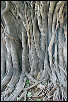 Banyan tree trunk detail. New Delhi, India ( color)