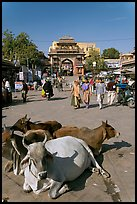 Sacred cows lying in Sardar Market. Jodhpur, Rajasthan, India (color)