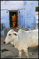 Cow and house with blue-washed walls. Jodhpur, Rajasthan, India ( color)