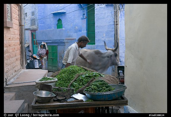 Man pushes away a cown in a narrow street. Jodhpur, Rajasthan, India (color)