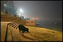 Sacred cow on the banks of Ganges River at night. Varanasi, Uttar Pradesh, India