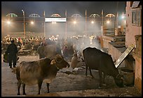 Sacred cows and ceremony at Dasaswamedh Ghat. Varanasi, Uttar Pradesh, India (color)