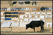 Cow and laundry. Varanasi, Uttar Pradesh, India (color)