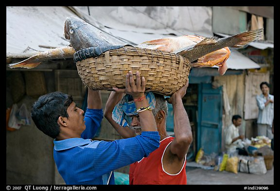 Men unloading basket with huge fish from head, Colaba Market. Mumbai, Maharashtra, India