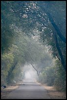 Main path in the dawn mist, Keoladeo Ghana National Park. Bharatpur, Rajasthan, India
