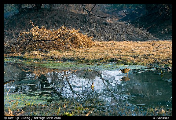 Pond and bird, Keoladeo Ghana National Park. Bharatpur, Rajasthan, India (color)