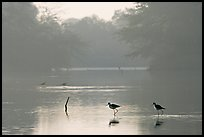 Pond with wadding birds, Keoladeo Ghana National Park. Bharatpur, Rajasthan, India
