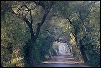 Path through tree tunnel, Keoladeo Ghana National Park. Bharatpur, Rajasthan, India