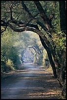 Path and tree tunnel, Keoladeo Ghana National Park. Bharatpur, Rajasthan, India (color)
