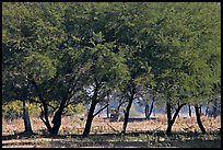 Trees, Keoladeo Ghana National Park. Bharatpur, Rajasthan, India ( color)