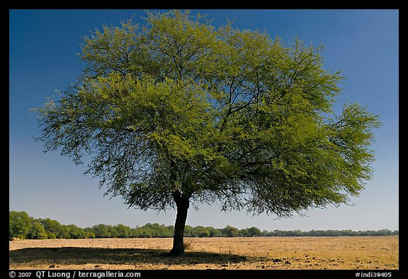 Isolated tree in open grassland, Keoladeo Ghana National Park. Bharatpur, Rajasthan, India (color)