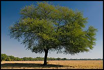 Isolated tree in open grassland, Keoladeo Ghana National Park. Bharatpur, Rajasthan, India ( color)