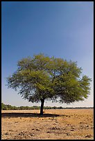 Isolated tree, Keoladeo Ghana National Park. Bharatpur, Rajasthan, India