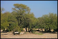 Animals and trees, Keoladeo Ghana National Park. Bharatpur, Rajasthan, India
