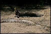 Python snake, Keoladeo Ghana National Park. Bharatpur, Rajasthan, India ( color)