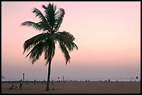 Coconut tree on Miramar Beach, sunset. Goa, India (color)