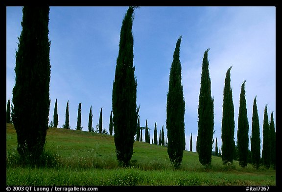 Cypress rows typical of the Tuscan landscape. Tuscany, Italy (color)