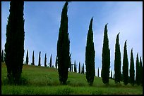 Cypress rows typical of the Tuscan landscape. Tuscany, Italy