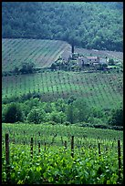 Vineyard in the Chianti region. Tuscany, Italy (color)