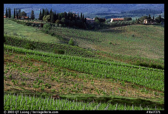 Vineyard, cypress, and houses,  Chianti region. Tuscany, Italy (color)
