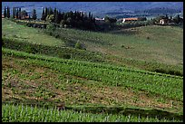 Vineyard, cypress, and houses,  Chianti region. Tuscany, Italy
