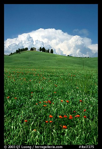 Poppies in field and cloud above distant ridge. Tuscany, Italy (color)