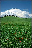 Poppies in field and cloud above distant ridge. Tuscany, Italy