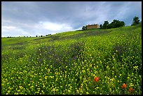 Spring wildflowers and house on hill. Tuscany, Italy