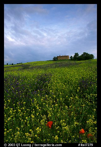 Carpet of spring wildflowers and house on ridge. Tuscany, Italy